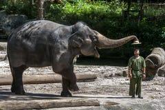 Słoń usuwa kapelusz od mahout podczas słonia przedstawienia przy Singapur zoo w Singapur Fotografia Stock
