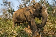 Słoń wędrówka Zdjęcia Royalty Free