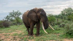 Słoń w Afrykańskim krzaku fotografia royalty free