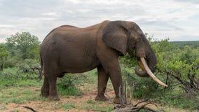 Słoń w Afrykańskim krzaku zdjęcia stock