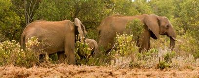 Słoń w Afryka natury dzikim życiu Obraz Stock