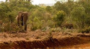 Słoń w Afryka natury dzikim życiu Fotografia Stock
