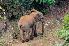 Słoń w Afryka natury dzikim życiu Obrazy Stock