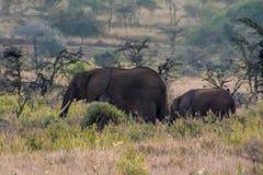 Słoń w Afryka natury dzikim życiu Zdjęcie Royalty Free