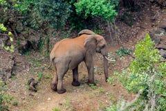 Słoń w Afryka natury dzikim życiu Zdjęcia Stock
