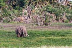 Słoń w bagnie Amboseli, Kenja Fotografia Royalty Free