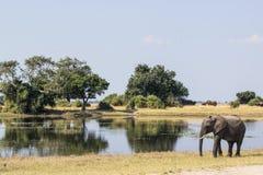 Słoń w Chobe NP Obraz Royalty Free