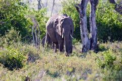 Słoń w cieniu Zdjęcie Stock