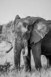 Słoń w czarny i biały w Kruger parku narodowym, Południowa Afryka Zdjęcia Royalty Free