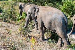 Słoń w dżungli Obraz Stock