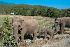 Słoń w dżungli Obrazy Stock