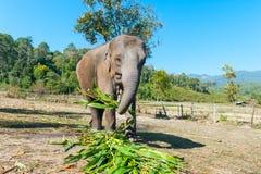 Słoń w dżungli Fotografia Royalty Free