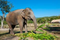 Słoń w dżungli Zdjęcia Stock