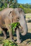 Słoń w dżungli Zdjęcie Stock