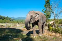 Słoń w dżungli Fotografia Stock