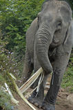 Słoń w dżungli blisko Mekong rzeki Fotografia Stock