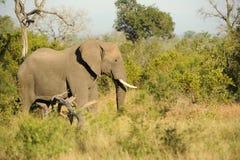 Słoń w drodze Zdjęcia Royalty Free