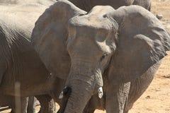 Słoń w Etosha parku narodowym, brać blisko waterhole fotografia stock