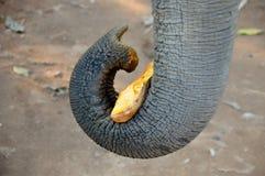 Słoń w gardle je bani w światło słoneczne dniu Obraz Royalty Free
