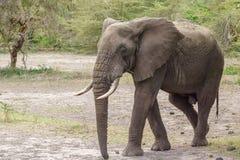 Słoń w jeziornym Manyara Obraz Stock