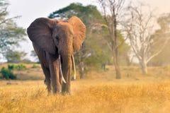 Słoń w Kenja parku narodowym, Taita Hils, Afryka Obrazy Stock