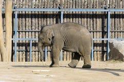 Słoń w klatce Obraz Stock