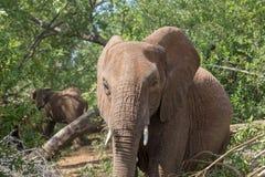 Słoń w krzaku Zdjęcia Royalty Free