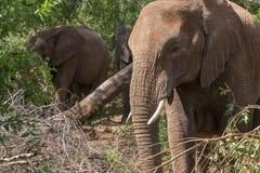 Słoń w krzaku Fotografia Stock