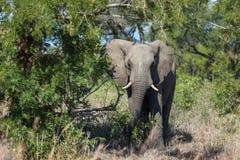 Słoń w krzaku Fotografia Royalty Free