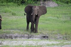 Słoń w mudhole Obraz Royalty Free