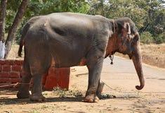 Słoń w Ponda goa indu Obrazy Royalty Free