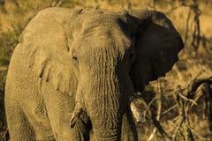 Słoń w popołudnia świetle obrazy royalty free