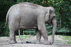 Słoń w Rotterdam zoo fotografia stock
