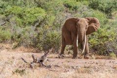 Słoń w Savana Tsavo park narodowy, Kenja Obrazy Stock