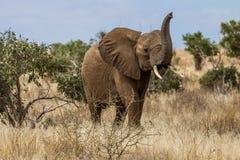 Słoń w Savana Tsavo park narodowy, Kenja Zdjęcie Stock