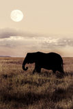 Słoń w sawannie na tle księżyc Zdjęcie Stock