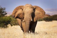 Słoń w sawannie w Namibia, Afryka Fotografia Stock