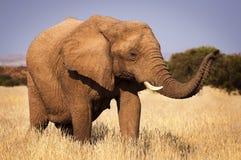 Słoń w sawannie w Namibia, Afryka Obraz Royalty Free