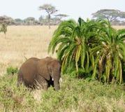 Słoń w Serengeti Obraz Royalty Free