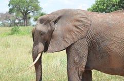 Słoń w serengeti parku narodowym w Tanzania fotografia stock