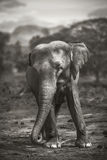 Słoń w sri lanka Zdjęcia Royalty Free