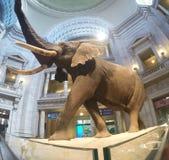 Słoń w Washington muzeum zdjęcia stock