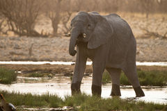 Słoń w wodzie obraz stock