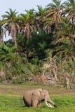 Słoń w zielonym bagnie Amboseli, Kenja Obrazy Royalty Free