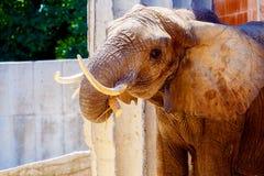 Słoń w zoo, kontakt wzrokowy Loxodonta africana fotografia royalty free