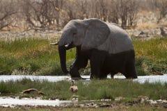 słoń woda zdjęcie royalty free