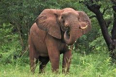 Słoń wyłania się od bruhs Obraz Stock