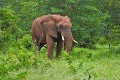 Słoń wyłania się od bruhs Fotografia Royalty Free