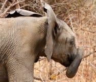 Słoń z bagażnikiem fryzującym wokoło ja Obraz Stock