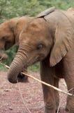 Słoń z kijem Fotografia Stock